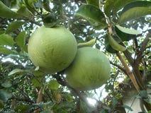 Μεγάλο pomelo στο pomelo δέντρο, γκρέιπφρουτ στοκ εικόνα