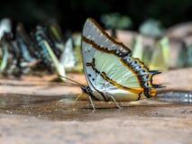 Μεγάλο puddli πεταλούδων Nawab πεταλούδων (eudamippus Polyura) Στοκ φωτογραφίες με δικαίωμα ελεύθερης χρήσης