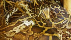 μεγάλο python Στοκ Εικόνες