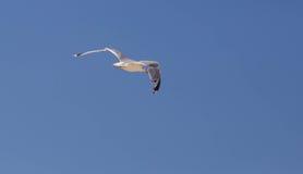 Μεγάλο seagull που πετά στο μπλε ουρανό Στοκ φωτογραφία με δικαίωμα ελεύθερης χρήσης