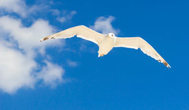 Μεγάλο seagull που πετά στο μπλε ουρανό Στοκ φωτογραφίες με δικαίωμα ελεύθερης χρήσης