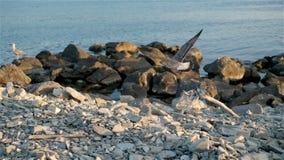 Μεγάλο Seagull που τρέπεται σε φυγή από τη βρώμικη δύσκολη ακτή απόθεμα βίντεο