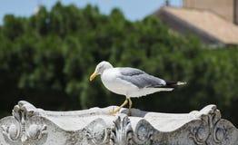 Μεγάλο seagull στη Ρώμη Στοκ Φωτογραφίες