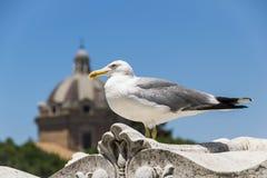 Μεγάλο seagull στη Ρώμη Στοκ Εικόνες