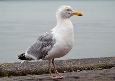 Μεγάλο seagull Στοκ φωτογραφία με δικαίωμα ελεύθερης χρήσης