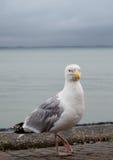 Μεγάλο seagull Στοκ εικόνες με δικαίωμα ελεύθερης χρήσης