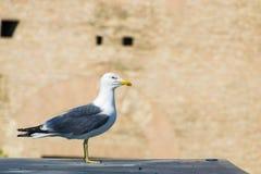 Μεγάλο Seagull Στοκ Εικόνα