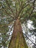 Μεγάλο sequoia, άποψη από κάτω από Στοκ φωτογραφία με δικαίωμα ελεύθερης χρήσης