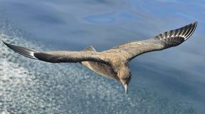 Μεγάλο skua Skua Catharacta κατά την πτήση στην μπλε ωκεάνια ΤΣΕ νερού Στοκ εικόνες με δικαίωμα ελεύθερης χρήσης