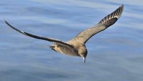 Μεγάλο skua Skua Catharacta κατά την πτήση Στοκ φωτογραφίες με δικαίωμα ελεύθερης χρήσης