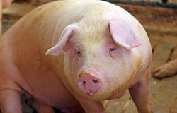 Μεγάλο snout του χοίρου στο χοιροστάσιο Στοκ Φωτογραφίες