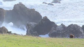 Μεγάλο Sur 11 αγελάδες στην ακτή