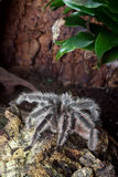 Μεγάλο Tarantula Στοκ φωτογραφίες με δικαίωμα ελεύθερης χρήσης