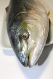 Μεγάλο Yellowtail κεφάλι ψαριών Στοκ εικόνες με δικαίωμα ελεύθερης χρήσης