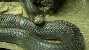 Μεγαλοπρεπές δηλητηριώδες φίδι με το σκοτεινό δέρμα Όμορφο Monocled cobra βασιλιάδων με το μαύρο δέρμα στο βράχο στο κλουβί terra φιλμ μικρού μήκους