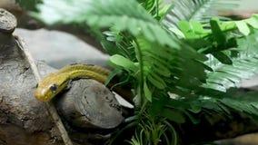 Μεγαλοπρεπές δηλητηριώδες φίδι με το σκούρο πράσινο δέρμα Όμορφο φίδι ματιών γατών σκυλιών οδοντωτό με το βράχο ν στο κλουβί terr απόθεμα βίντεο