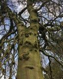 Μεγαλοπρεπές ευρωπαϊκό άφυλλο δέντρο οξιών ενάντια σε έναν μπλε και άσπρο ουρανό στοκ εικόνα