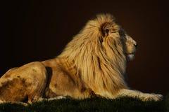 Μεγαλοπρεπές λιοντάρι Στοκ Εικόνες