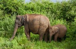 Μεγαλοπρεπές maximus Elephas ελεφάντων στο εθνικό πάρκο Udawalawe - μητέρα και μωρό στο σαφάρι της Σρι Λάνκα θάμνων στοκ εικόνες με δικαίωμα ελεύθερης χρήσης