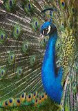 μεγαλοπρεπές peacock Στοκ εικόνα με δικαίωμα ελεύθερης χρήσης