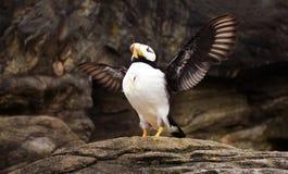 Μεγαλοπρεπές Puffin Rasing αυτό φτερά ` s Στοκ φωτογραφία με δικαίωμα ελεύθερης χρήσης