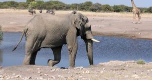 Μεγαλοπρεπής αφρικανικός ελέφαντας που έρχεται στο waterhole απόθεμα βίντεο