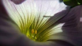 Μεγαλοπρεπής ιώδης μακρο φωτογραφία θερινών λουλουδιών στοκ φωτογραφίες με δικαίωμα ελεύθερης χρήσης