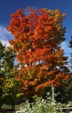 Μεγαλοπρεπής κόκκινος σφένδαμνος του Βερμόντ φύλλων στοκ εικόνες