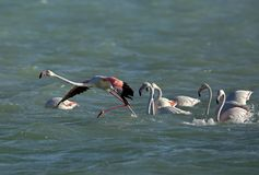 Μεγαλύτερα φλαμίγκο που περιμένουν στη σειρά για να πετάξει, Μπαχρέιν στοκ εικόνες