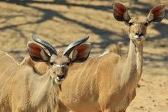 Μεγαλύτερη αντιλόπη Kudu - αφρικανικό υπόβαθρο άγριας φύσης - αστεία φύση Στοκ φωτογραφία με δικαίωμα ελεύθερης χρήσης