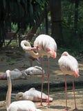 Μεγαλύτερος καθαρισμός πουλιών φλαμίγκο που απομονώνεται στο υπόβαθρο φύσης στοκ φωτογραφίες
