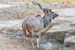 Μεγαλύτερος ταύρος kudu, strepsiceros Tragelaphus, πόσιμο νερό στοκ εικόνες με δικαίωμα ελεύθερης χρήσης