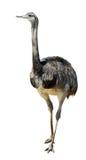μεγαλύτερο απομονωμένο rhea στοκ φωτογραφία με δικαίωμα ελεύθερης χρήσης