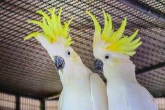 Μεγαλύτερο θείο-λοφιοφόρο Cockatoo στοκ φωτογραφίες με δικαίωμα ελεύθερης χρήσης