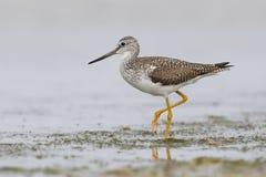 Μεγαλύτερο να προμηθεύσει με ζωοτροφές Yellowlegs σε μια ρηχή λιμνοθάλασσα - αρίθμηση Pinellas Στοκ Εικόνες