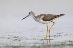 Μεγαλύτερο να προμηθεύσει με ζωοτροφές Yellowlegs σε μια ρηχή λιμνοθάλασσα - αρίθμηση Pinellas Στοκ φωτογραφία με δικαίωμα ελεύθερης χρήσης