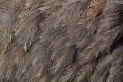 Μεγαλύτερο rhea Rhea αμερικανική Σύσταση φτερώματος στοκ φωτογραφία με δικαίωμα ελεύθερης χρήσης