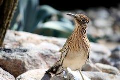 μεγαλύτερο roadrunner πουλιών Στοκ Εικόνες