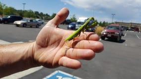Μεγαλοπρεπές Mantis στοκ εικόνα με δικαίωμα ελεύθερης χρήσης
