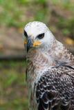 Μεγαλοπρεπής αετός Harpy Στοκ εικόνα με δικαίωμα ελεύθερης χρήσης