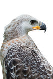 Μεγαλοπρεπής αετός Harpy Στοκ φωτογραφίες με δικαίωμα ελεύθερης χρήσης