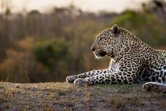 Μεγαλοπρεπής αρσενική λεοπάρδαλη Στοκ φωτογραφίες με δικαίωμα ελεύθερης χρήσης