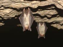 Μεγαλύτερα ποντίκι-έχοντα νώτα myotis Myotis ροπάλων στη σπηλιά Στοκ Εικόνα