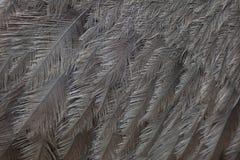 Μεγαλύτερα rhea & x28 Rhea americana& x29  Σύσταση φτερώματος Στοκ Φωτογραφία