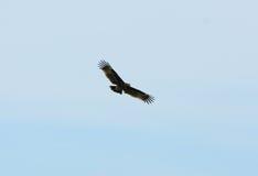 Μεγαλύτερος επισημασμένος αετός (clanga Aquila) Στοκ εικόνες με δικαίωμα ελεύθερης χρήσης