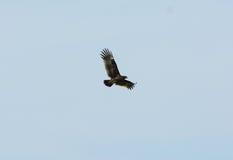 Μεγαλύτερος επισημασμένος αετός (clanga Aquila) Στοκ Εικόνες