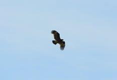 Μεγαλύτερος επισημασμένος αετός (clanga Aquila) Στοκ φωτογραφίες με δικαίωμα ελεύθερης χρήσης