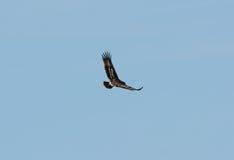 Μεγαλύτερος επισημασμένος αετός (clanga Aquila) Στοκ Εικόνα