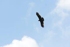 Μεγαλύτερος επισημασμένος αετός (clanga Aquila) Στοκ εικόνα με δικαίωμα ελεύθερης χρήσης