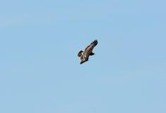 Μεγαλύτερος επισημασμένος αετός (clanga Aquila) Στοκ φωτογραφία με δικαίωμα ελεύθερης χρήσης